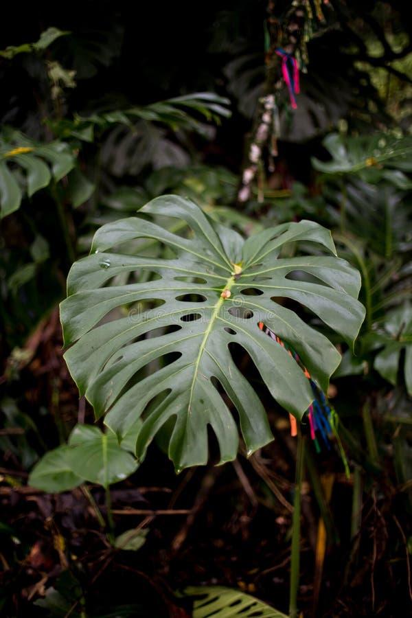 Adão ` s popiera rośliny wymieniającej jak zdjęcia royalty free