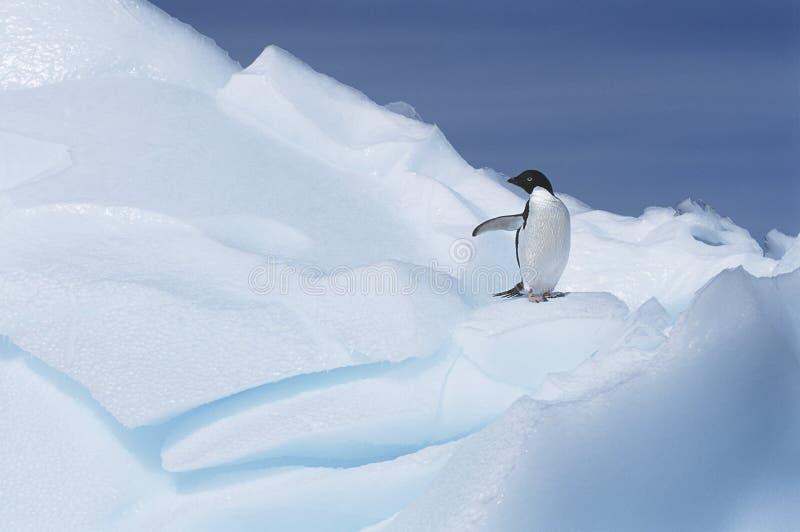 Adélie Penguin (Pygoscelis adeliae) on glacier royalty free stock photo