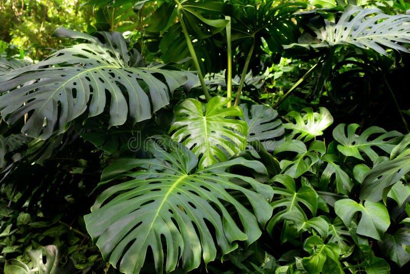Adam ziobro roślina na lesie obraz royalty free