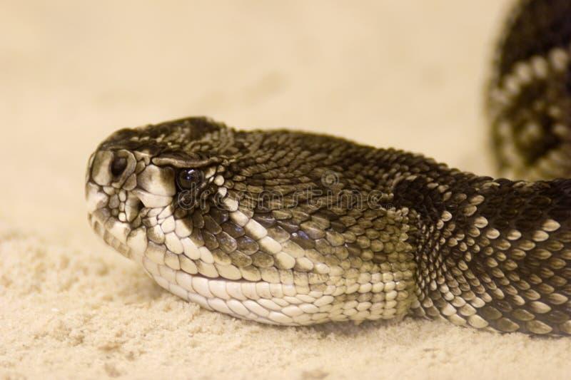 adamanteus响尾蛇菱纹背响尾蛇东部响尾蛇 库存图片