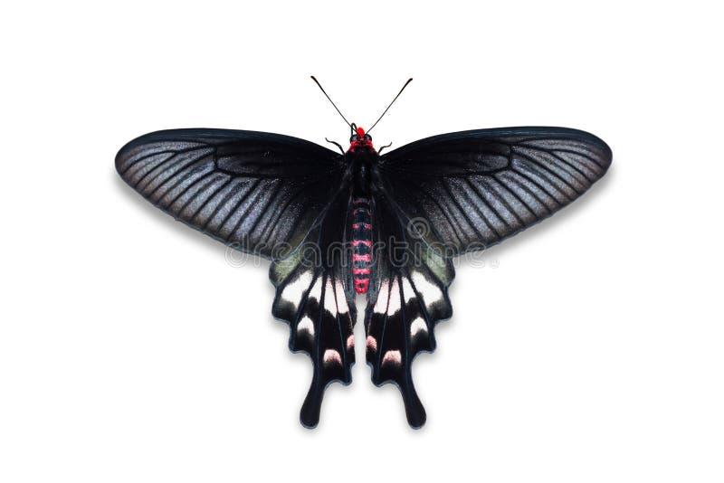 Adamson& x27 το s αυξήθηκε πεταλούδα στοκ φωτογραφίες