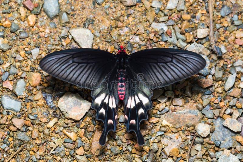 Adamson& x27; бабочка s розовая стоковые фото