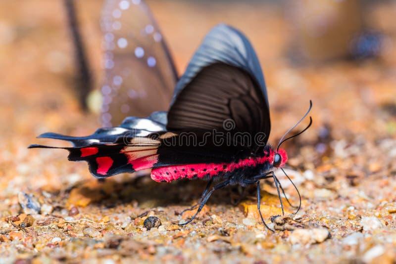 Adamson& x27; borboleta de s Rosa imagem de stock royalty free