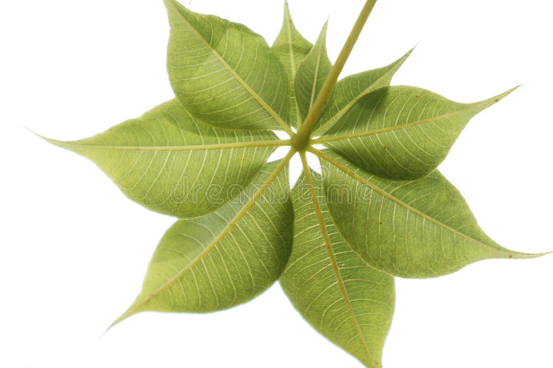 Adansonia gregorii (Australian Boab). Close up on the leaf pattern of the endemic Australian boab tree, Adansonia gregorii stock images