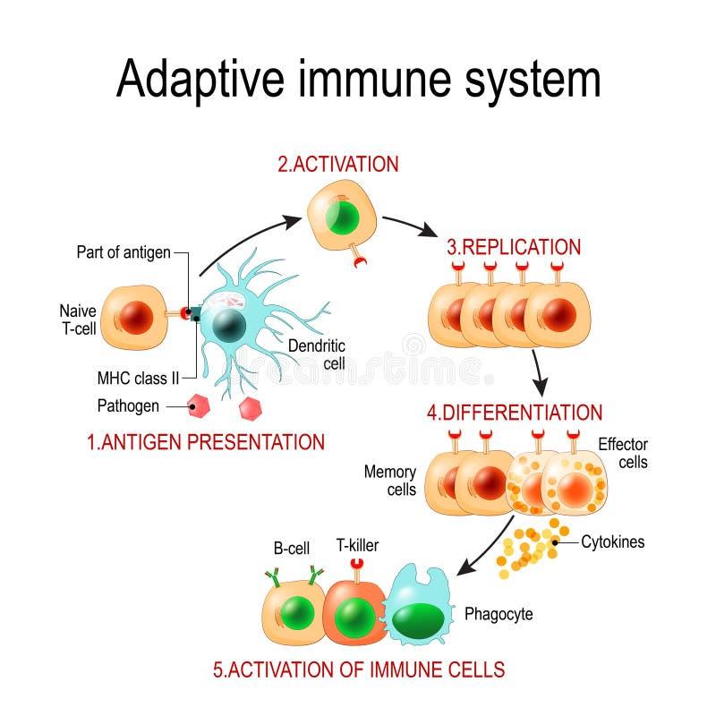 Adaptive immune system from Antigen presentation to activation o stock illustration