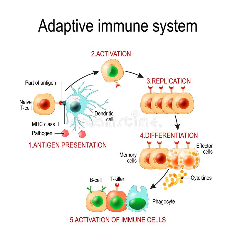 Free Adaptive Immune System From Antigen Presentation To Activation O Royalty Free Stock Photography - 131845957