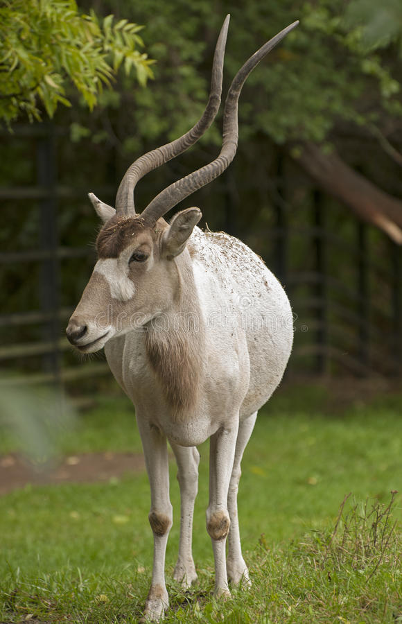 Free Addax Stock Images - 28206564