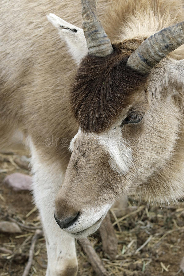 Addax photographie stock