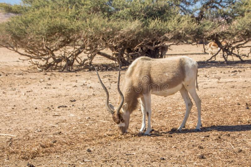 Addax Addax nasomaculatus, aka screwhorn antelope, white antelope or Curved horned antelope royalty free stock photo