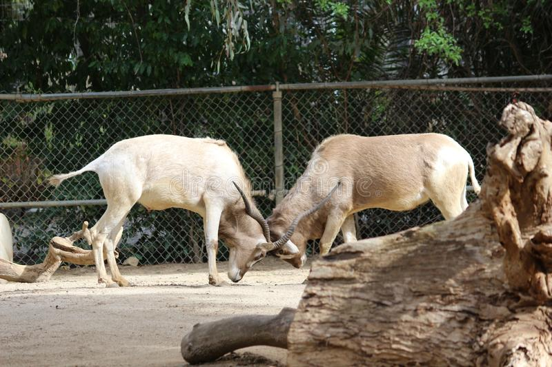 An Addax. Also known as a White Antelope or Screwhorn Antelope. stock images