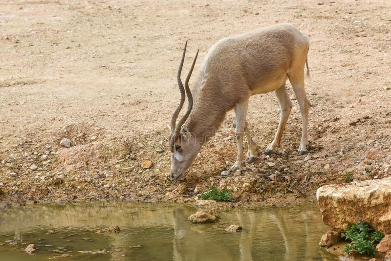 Addax, Addax nasomaculatus, white antelope, screwhorn antelope at a watering place. Animal and Wildlife royalty free stock photos