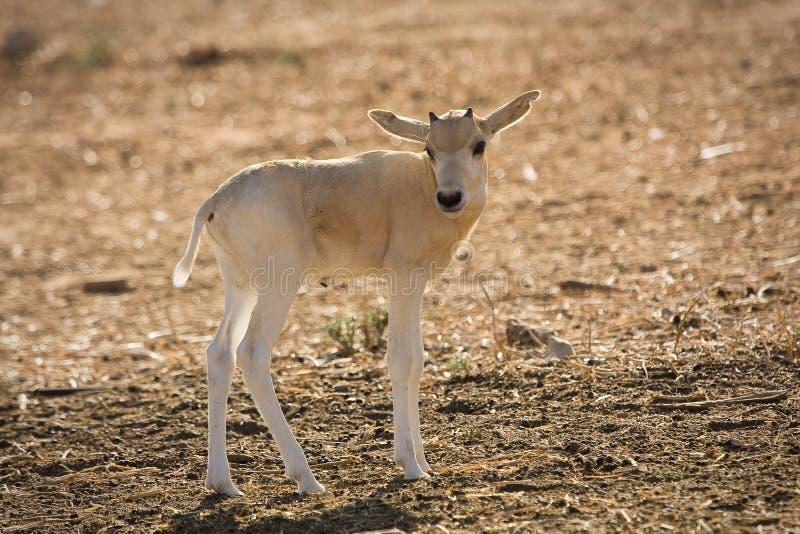 Addax calf. Wild addax, nasomaculatus antelope calf stock images