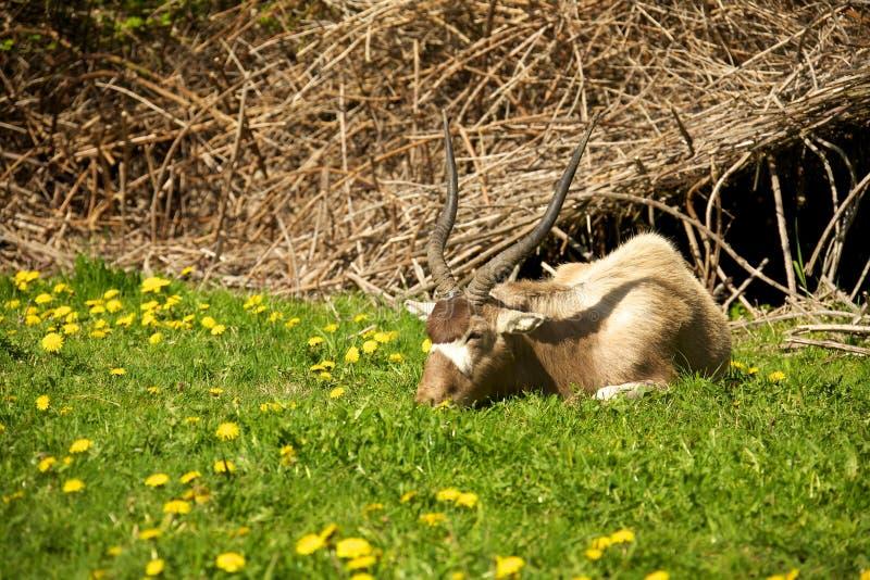 Addax eating grass. An African Addax antelope eating grass in a field stock photos