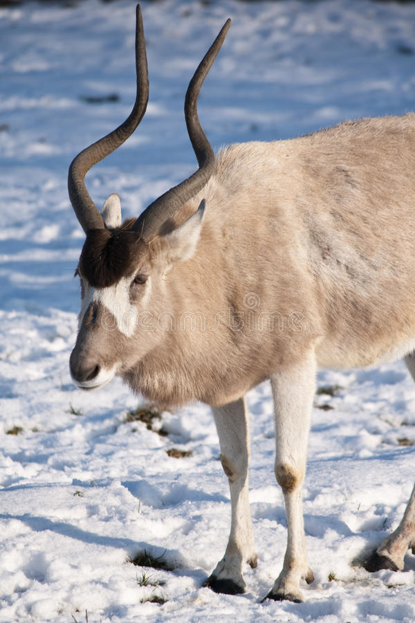 Addax on snow stock image