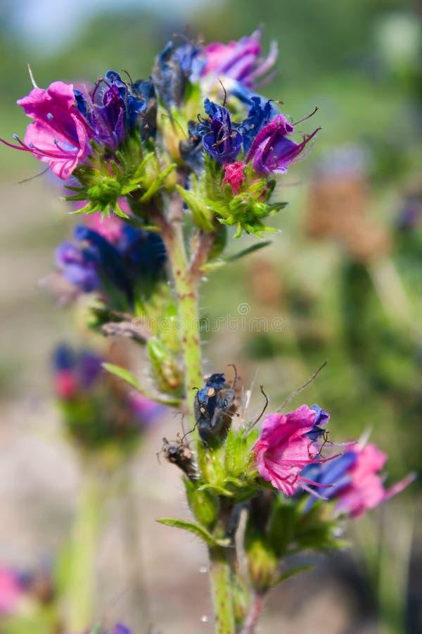 Adder bugloss royalty-vrije stock foto's