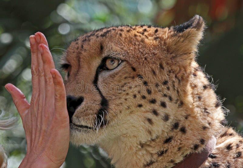 Addestramento del ghepardo immagine stock libera da diritti