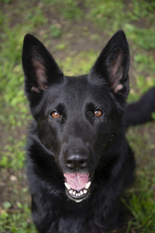 Addestramento di obidience del cane da guardia che guarda diritto alla macchina fotografica immagini stock