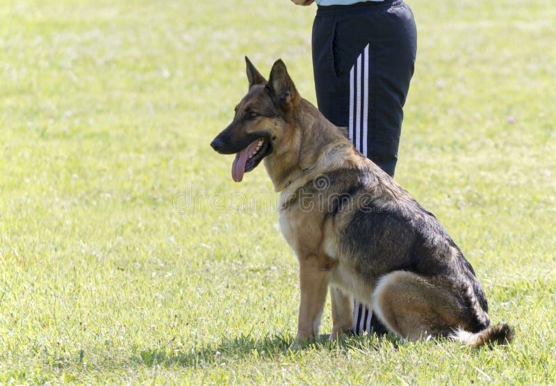 Download Addestramento Di In Police K-9 Del Pastore Tedesco Immagine Stock - Immagine di shepherd, cane: 55358837