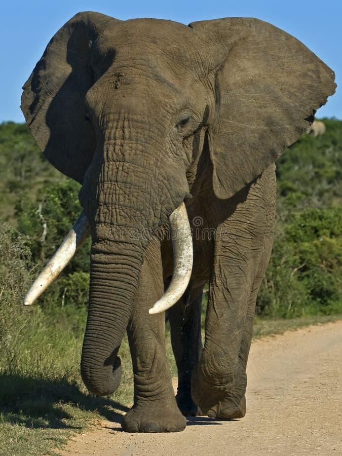 Addo Bull Elephant royalty free stock photo