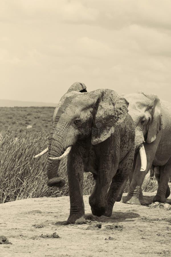 Addo Bull-olifant met kereltje royalty-vrije stock fotografie