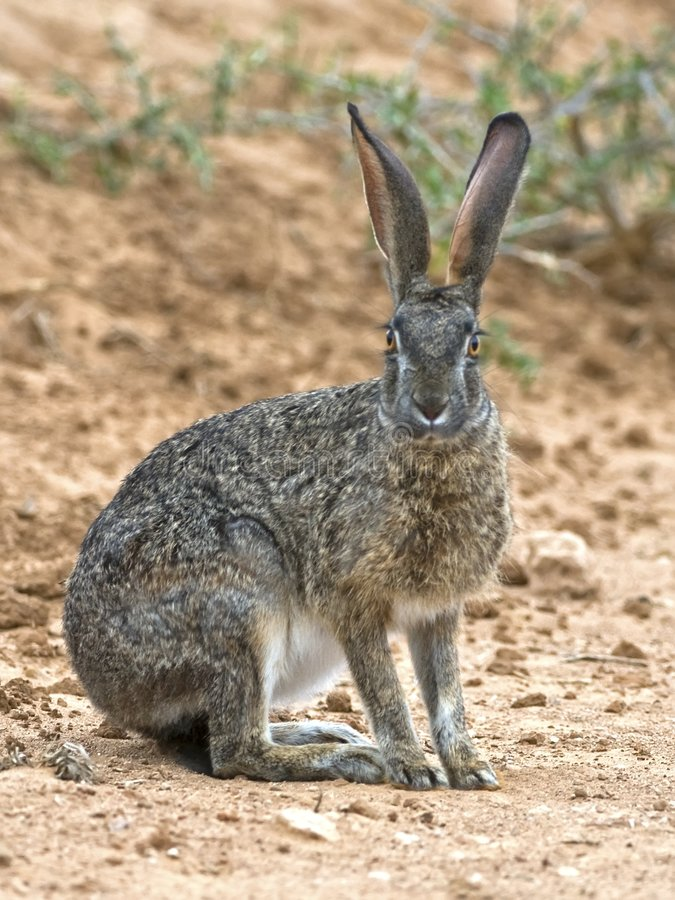 Addo Hare royalty free stock photo