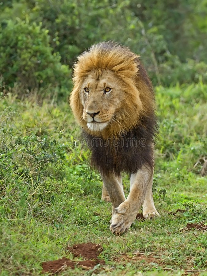 Download Addo Lion stock photo. Image of fierce, africa, growl - 4135670