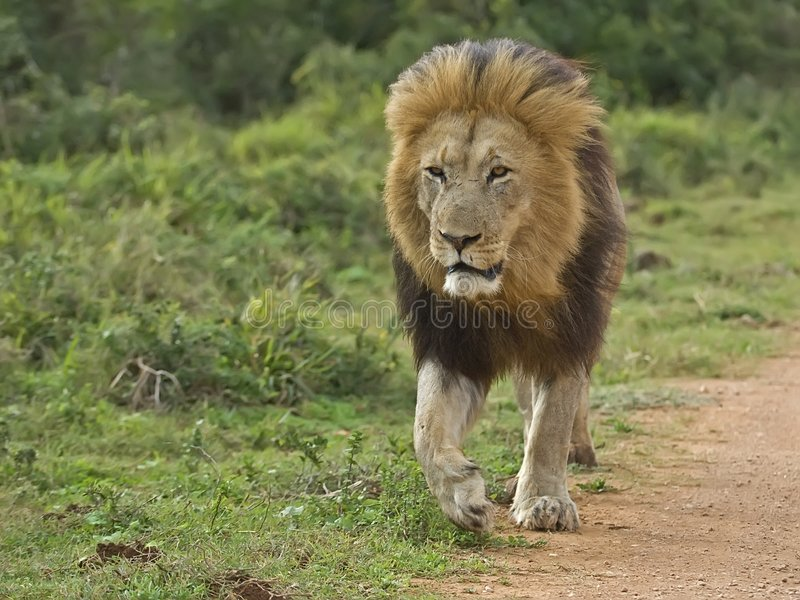 Download Addo Prime Lion Royalty Free Stock Images - Image: 4390459