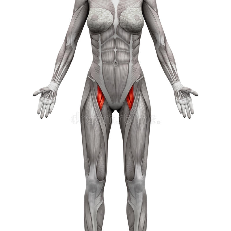 Adductor magnus anatomy 485602 - follow4more.info