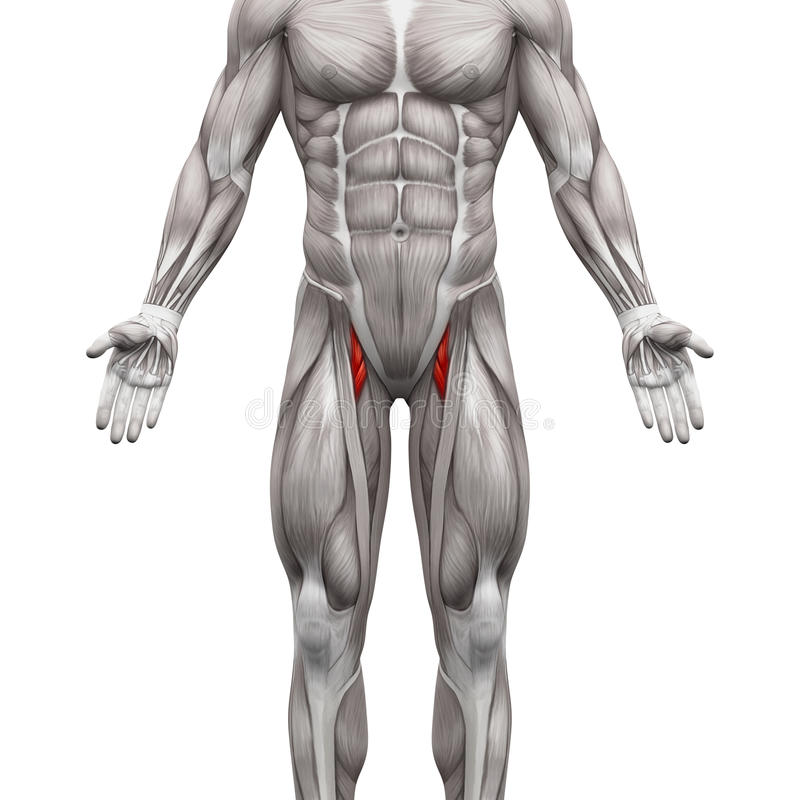 Adductor Brevis And Adductor Longus Muscle Anatomy Muscles Iso