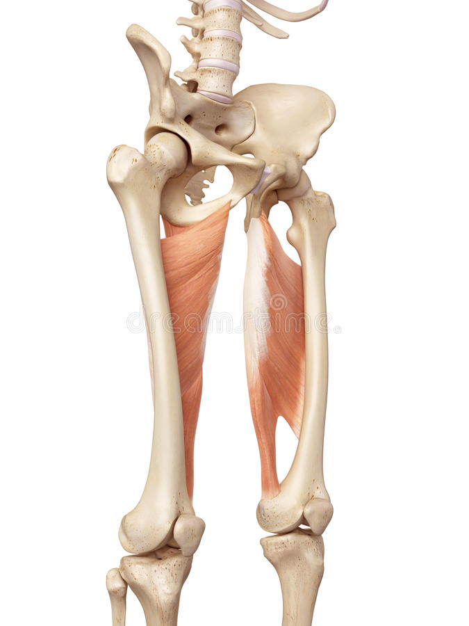 The adductor magnus stock illustration. Illustration of skeleton ...