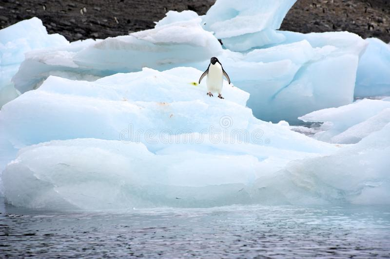 Adeile Iceberg. A group of Adélie Penguin (Pygoscelis adeliae) standing on an iceberg at Hope Bay in the Northern Tip of the Antarctic Peninsular stock photos
