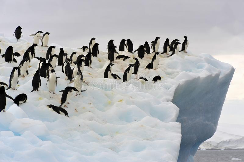 Adeile Iceberg. A group of Adélie Penguin (Pygoscelis adeliae) standing on an iceberg at Hope Bay in the Northern Tip of the Antarctic Peninsular royalty free stock photography