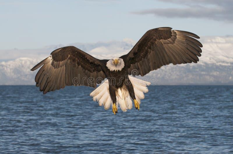 Adelaar die naar kijker vliegt