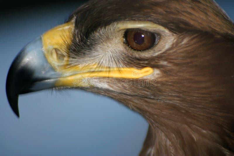 Adelaar #5 Koning van het vogelkoninkrijk stock afbeelding