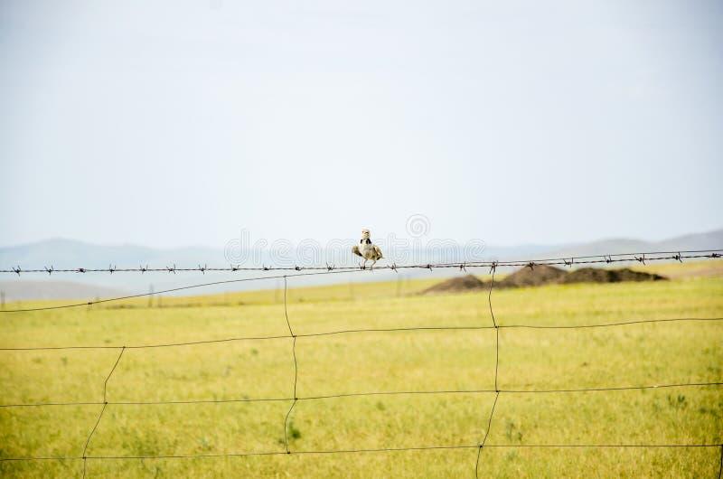 Adelaarsjongen op Hulunbuir-Weide stock foto