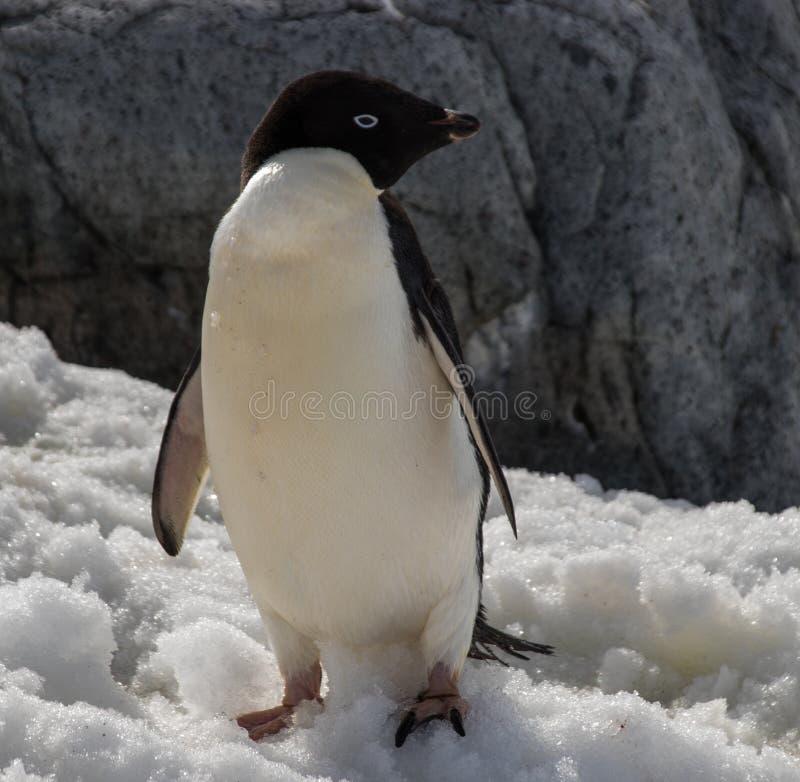 Adele Penguin solitario en la Antártida imagenes de archivo
