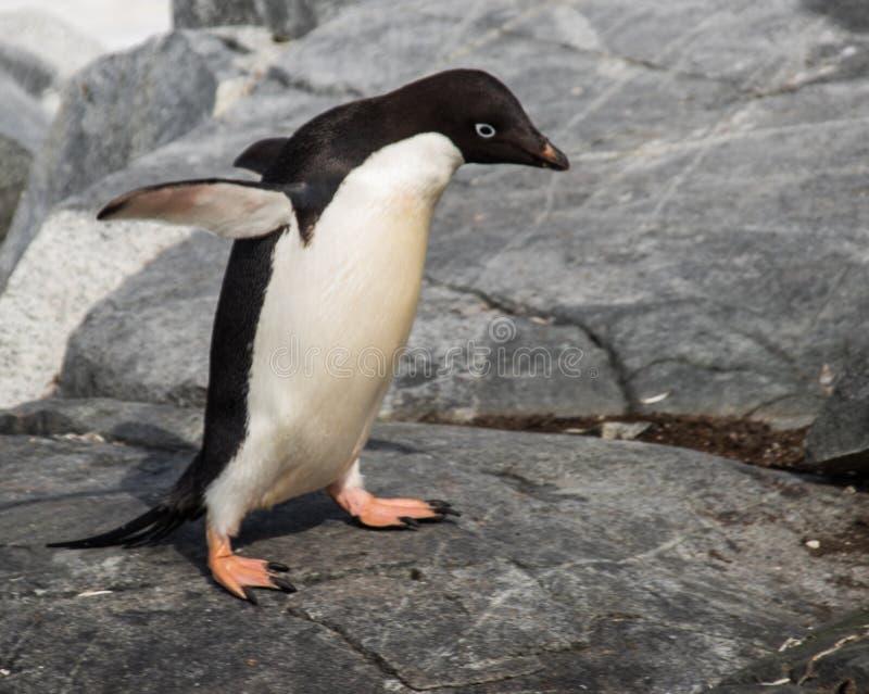 Adele Penguin solitario en la Antártida fotografía de archivo libre de regalías