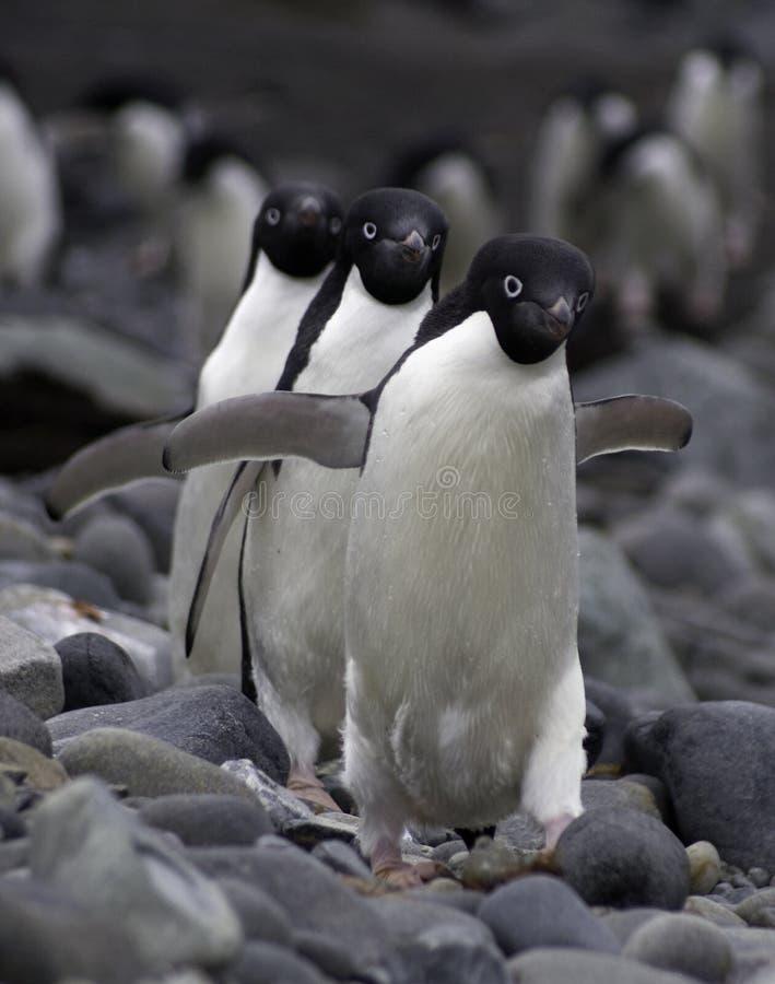 adele pingwiny trzy obrazy royalty free