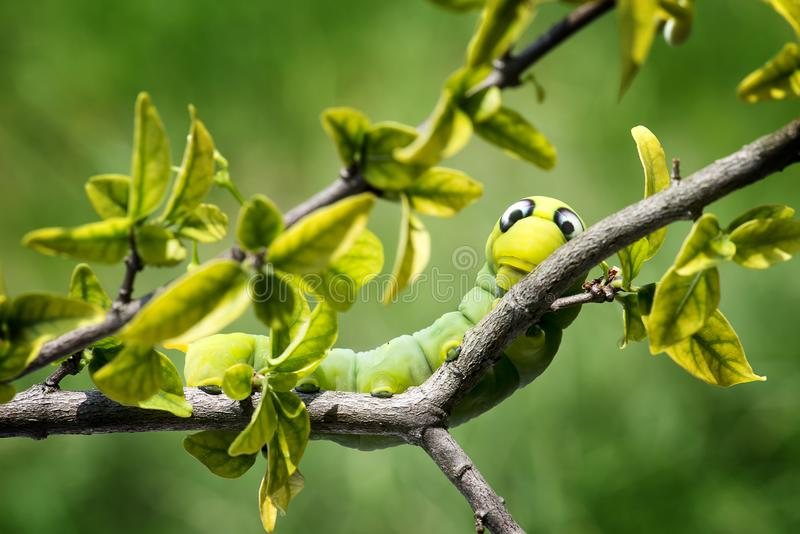 Adelfa Hawk Moth Caterpillar fotografía de archivo libre de regalías