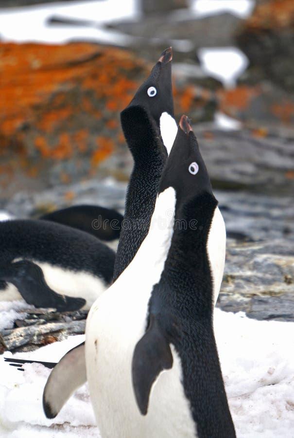 Adelie企鹅在Antartica 免版税库存照片