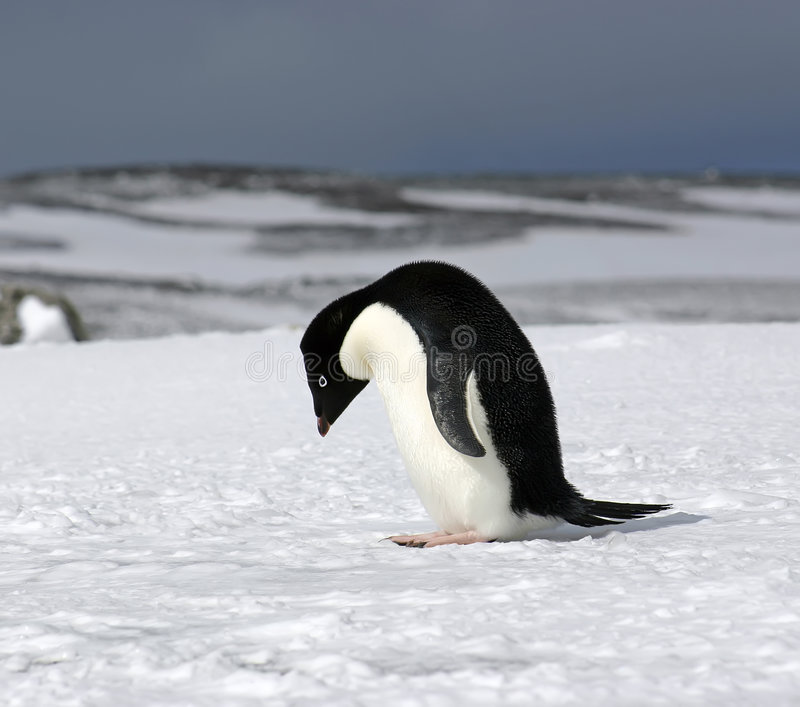 Adelie Bowing. Adelie penguin (Pygoscelis adeliae) posing on Antarctica royalty free stock images