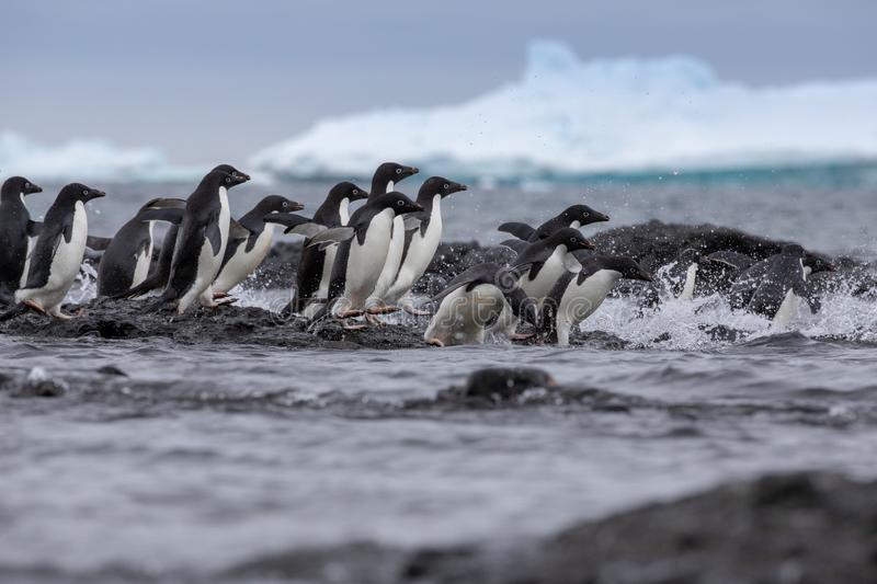 Adelie penguin. Adelie penguins heading for sea. royalty free stock photos