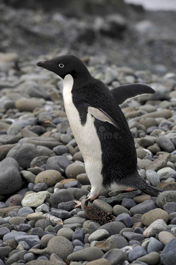 Adelie Penguin Antarctica. Adélie Penguin (Pygoscelis adeliae) on a stone beach near Arctowski Base (Polish) in Antarctica stock photo