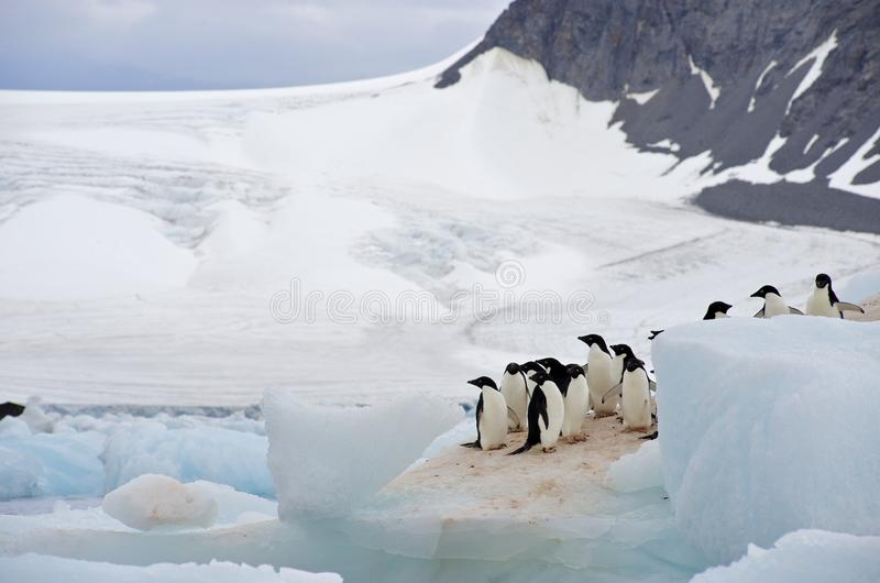Adelie Penguin Antarctica. A group of Adélie Penguin (Pygoscelis adeliae) standing on an iceberg at Hope Bay in the Northern Tip of the Antarctic Peninsular royalty free stock photos