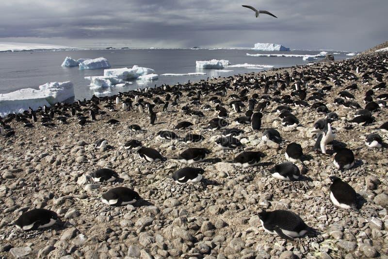 Adelie Penguin Colony - Antarctica. Adelie Penguin - Pygoscelis adeliae - colony on the Antarctic Peninsular in Antarctica stock photo