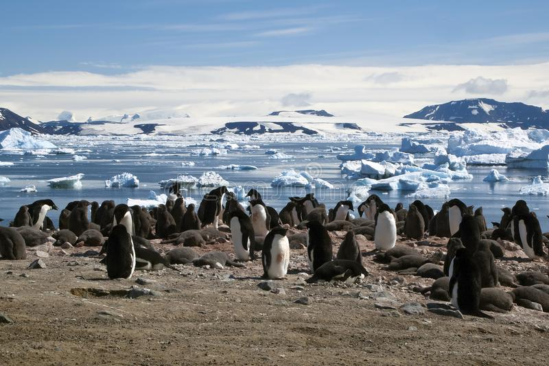 Adelie penguin colony with ice flow in background. Summer scene in penguin colony at Devil Island, Antarctica stock images