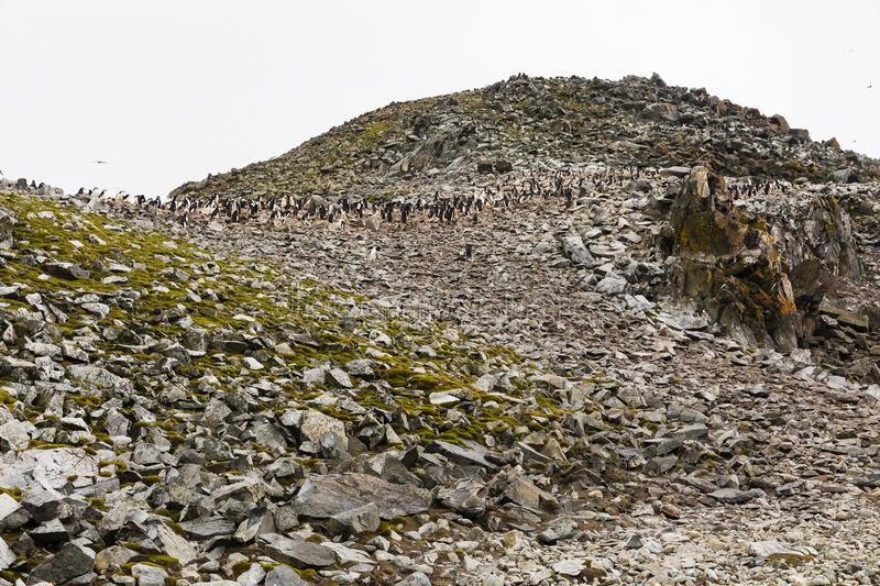 Adelie penguin colony on an a mountain royalty free stock images