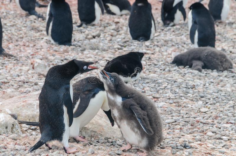 Adelie Penguin couple feeding their chick royalty free stock photos