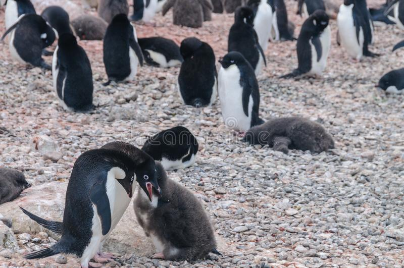 Adelie Penguin couple feeding their chick stock photo
