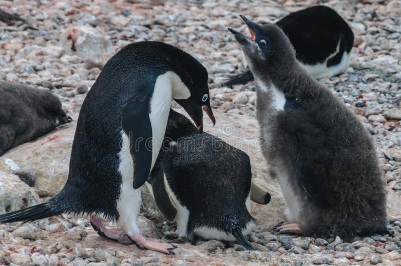 Adelie Penguin couple feeding their chick royalty free stock image